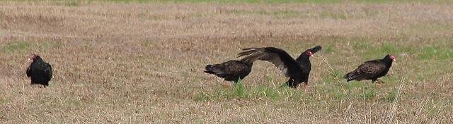 vultures 02